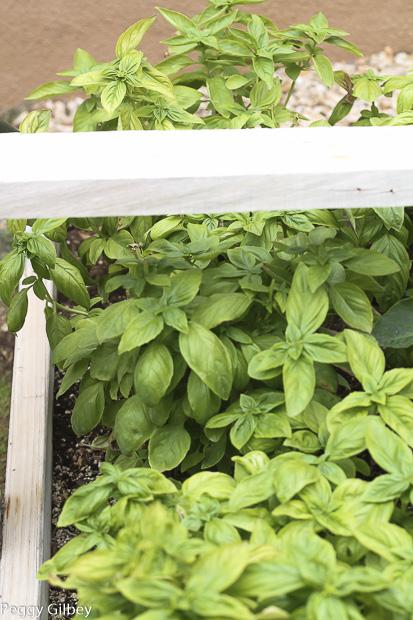 fresh-basil-garden